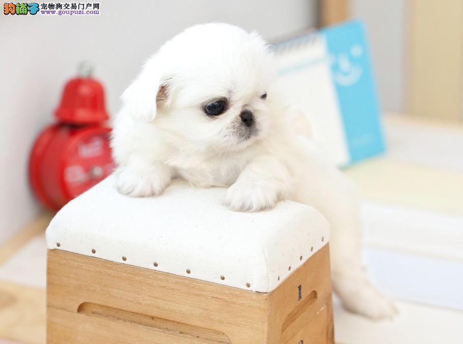 京巴狗缩略图