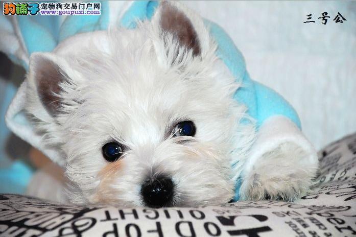 广东专业名犬养殖场提供各大中小型犬类:西高地