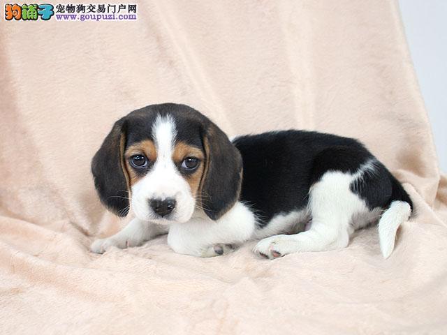 纯家养比格犬出售 保健康 签订协议 终身质保 可退换3