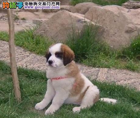 出售圣伯纳幼犬血统纯正品相优良1