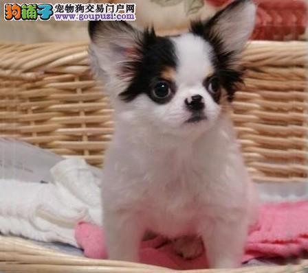 太原热销蝴蝶犬颜色齐全可见父母赠送全套宠物用品