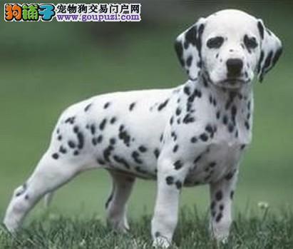 正规犬舍高品质斑点狗带证书签署各项质保合同