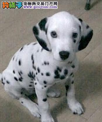 家养赛级斑点狗宝宝品质纯正送用品送狗粮