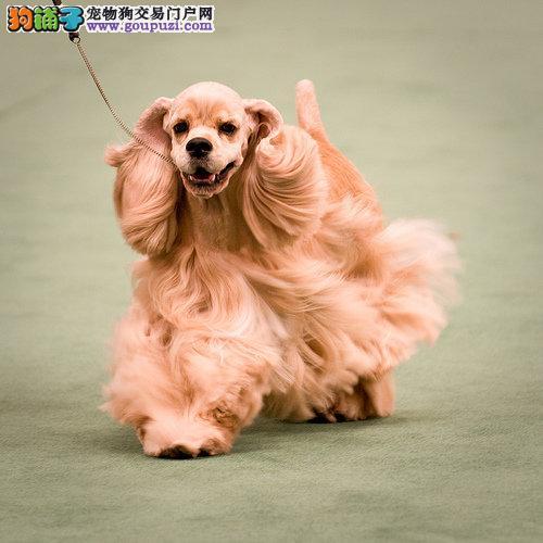 专业繁殖纯种平凉可卡疫苗齐全微信咨询看狗狗照片