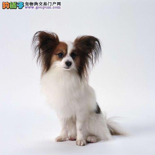 蝴蝶犬幼崽出售中,纯种健康品相优良,购买保障售后