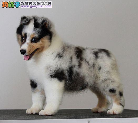 CKU认证犬舍 专业出售极品 喜乐蒂幼犬微信咨询欢迎选购