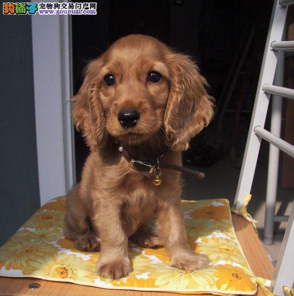 专业繁殖美系英系可卡幼犬 品质保证免疫齐全可看种犬