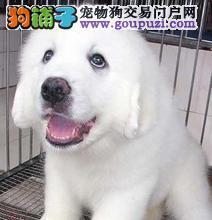 邯郸最大犬舍出售多种颜色大白熊全国十佳犬舍