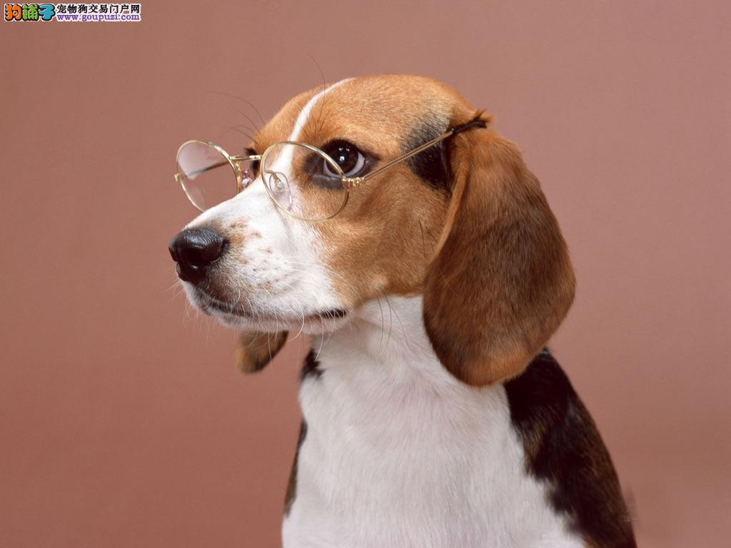 活泼可爱的米格鲁猎兔犬保证品质,上门选狗