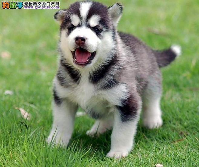 重庆帅气十足纯三火双蓝眼西伯利亚哈士奇雪橇犬