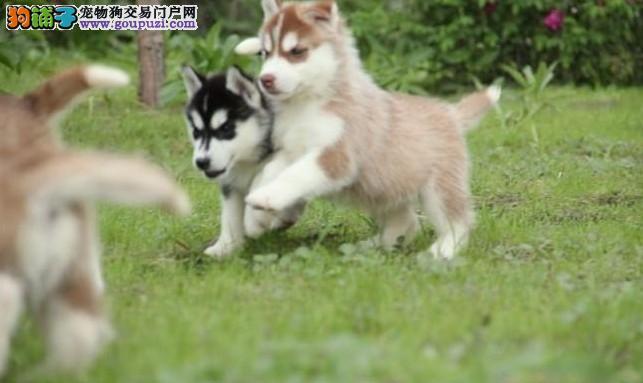超高品质的大连哈士奇幼犬找新家 三个月内包退包换