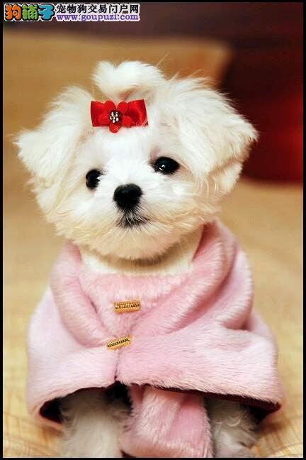 观赏犬马尔济斯幼犬热卖 前三名购买送用品和狗粮 先到先得