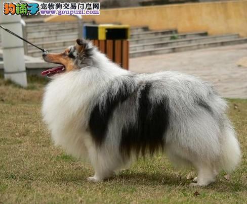 很适合家庭养的小型犬 绝对大毛量