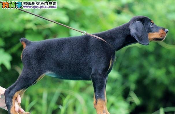 杜宾犬患上冠状病毒拉血打喷嚏