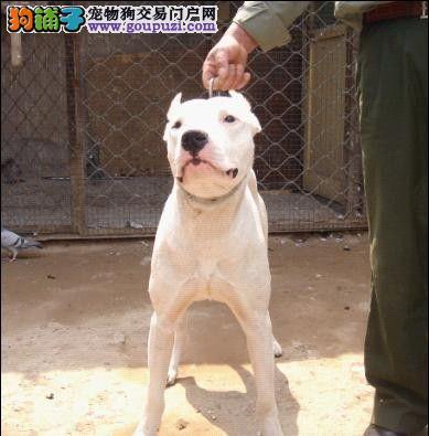 打猎好帮手 阿根廷杜高犬幼犬 血统纯正 可上门看狗