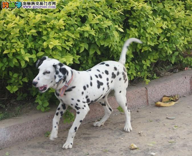 重庆专业的斑点狗犬舍终身保健康假一赔万签活体协议