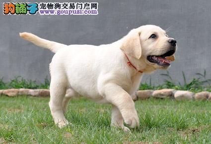 出售大骨量大头版精品的合肥拉布拉多犬 来场可看父母