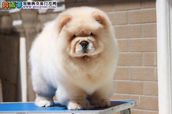 皇家犬舍待售松狮幼犬三个月驱虫免疫已做完购买有保障