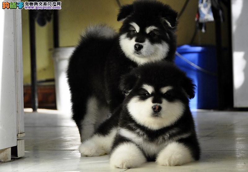 纯种阿拉斯加雪橇犬 高品质阿拉斯加幼犬待售 皇家犬舍3
