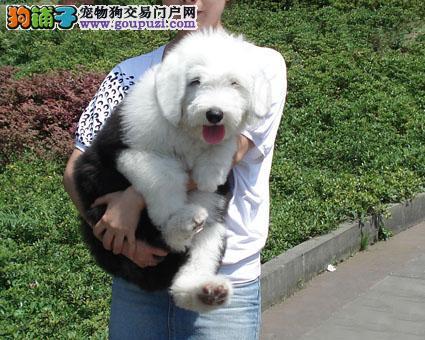 皇家古牧白头黑背极品幼犬待售中,签协议赠喂养手册