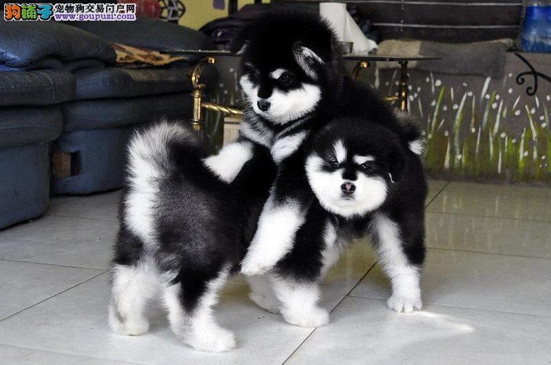 纯种阿拉斯加雪橇犬 高品质阿拉斯加幼犬待售 皇家犬舍2