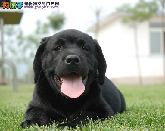 成都哪里有卖纯种拉布拉多犬的冠军级