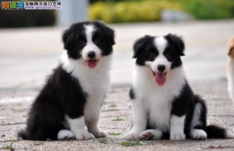 全长沙最顶级边境牧羊犬 极高品质 精品幼犬待售