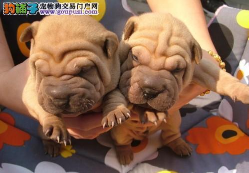 皇家犬舍出售极品沙皮犬 活体协议保障健康纯种