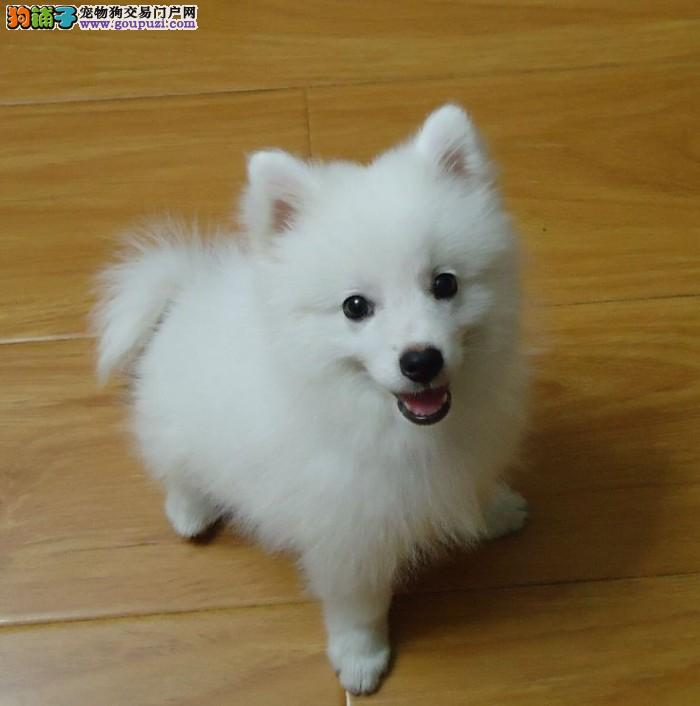 皇家犬舍待售尖嘴银狐幼犬三个月 驱虫免疫已做完