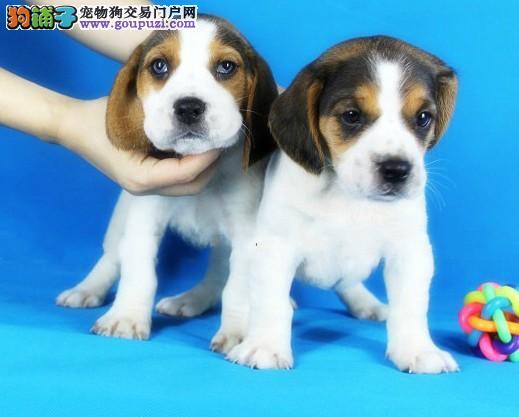 金华纯真比格犬幼犬哪里有卖很可爱小狗带有宽鼻线条好品相