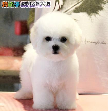 名犬俱乐部出售极品小体卷毛比熊幼犬多只