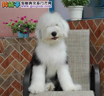 渝中名犬家园出售带国际认证血统的古牧宝宝