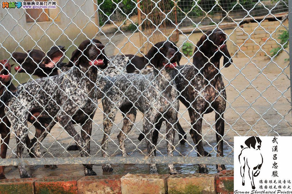 波音达 指示犬 德国短毛波音达 出售2