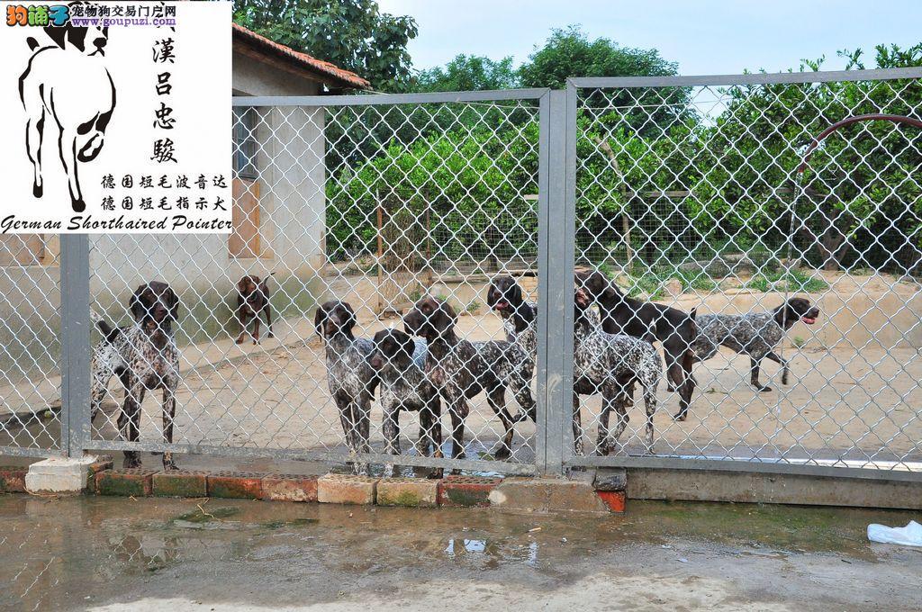 波音达 指示犬 德国短毛波音达 出售1
