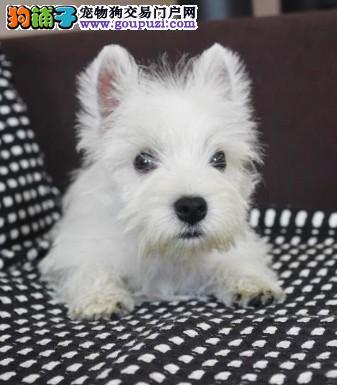 乌鲁木齐小型家庭宠物犬西高地白梗犬出售 可送货上门