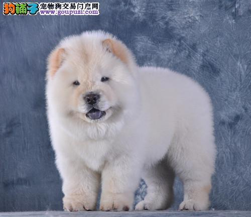 北京名犬俱乐部出售精品白色松狮