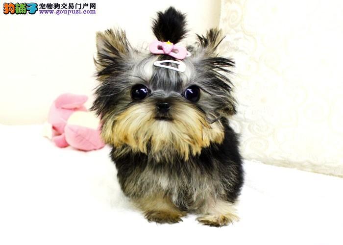 大型专业培育约克夏幼犬包健康喜欢微信咨询