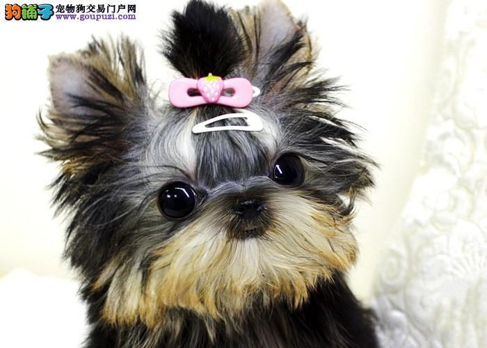 西安知名犬舍出售多只赛级约克夏金牌店铺有保障