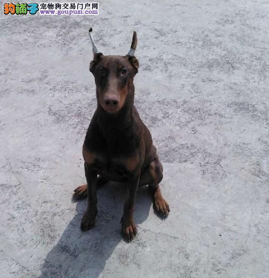 杭州哪里有卖纯种的杜宾犬 杭州哪里出售健康的杜宾犬4