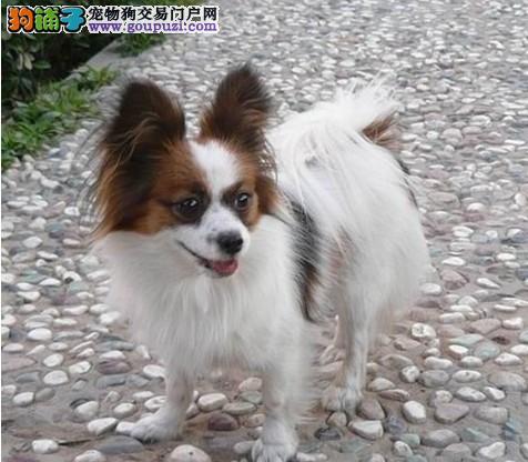 出售正规繁殖场纯种蝴蝶犬幼崽 欢迎来狗场看狗