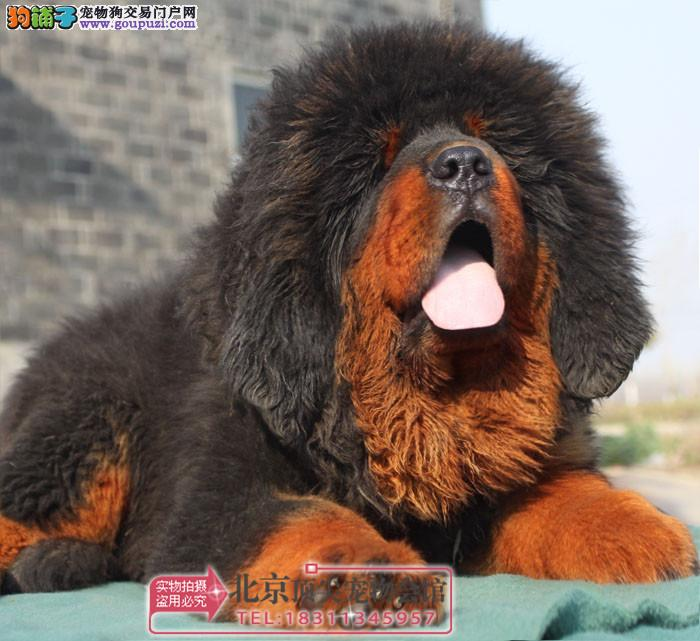 欧尚犬业出售、高品质藏獒宝宝