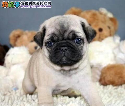 一脸褶子,憨厚,可爱的巴哥犬