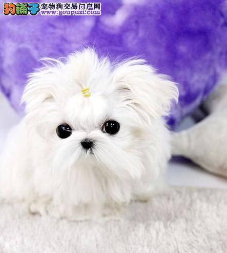 马尔济斯犬哪里有卖 纯种马尔济斯犬到哪里能买到