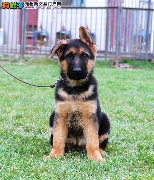 德国牧羊犬幼崽周周惊喜欢迎前来选购2