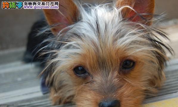 武汉光谷备孕转让约克夏泰迪杂交狗狗