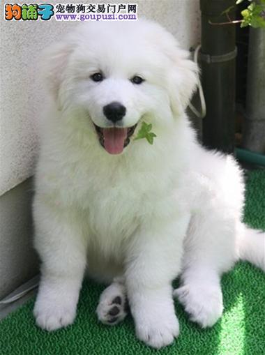 2月大白熊犬出售自家养可以随时联系我