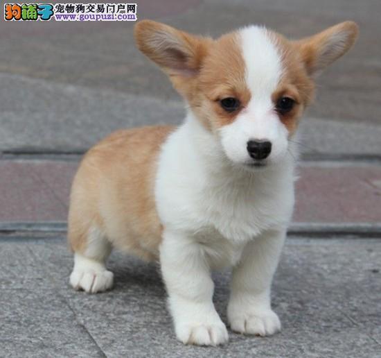 出售柯基犬幼犬 CKU认证 纯正血统 可签协议 质保终身