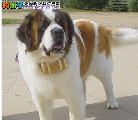 出售纯种圣伯纳幼犬保证健康2