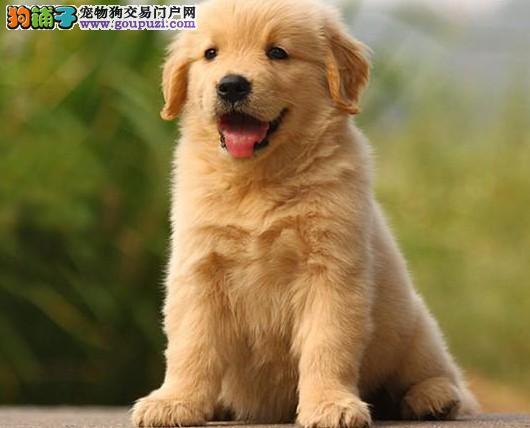 安顺市售健康黄金猎犬幼犬金毛寻回犬公狗幼犬