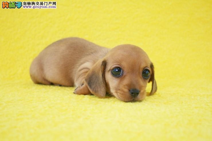 纯血统腊肠犬幼犬、假一赔十价位最低、等您接它回家